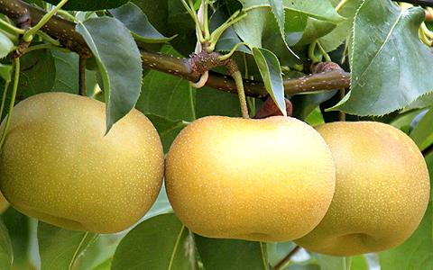 美味しい和梨の見分け方