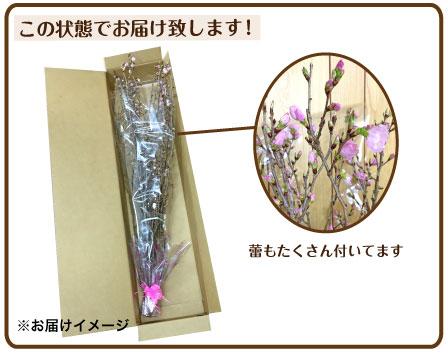 啓翁桜大型