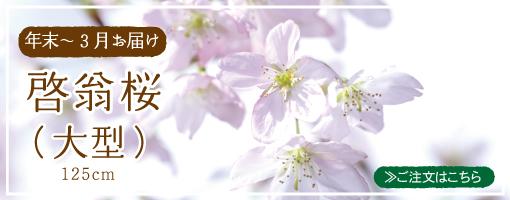 年末〜3月お届け 啓翁桜