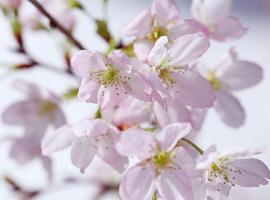 啓翁桜(年末お届け)