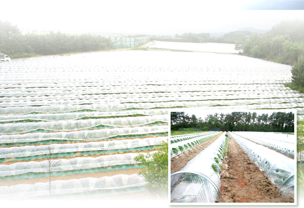 メロン畑の画像