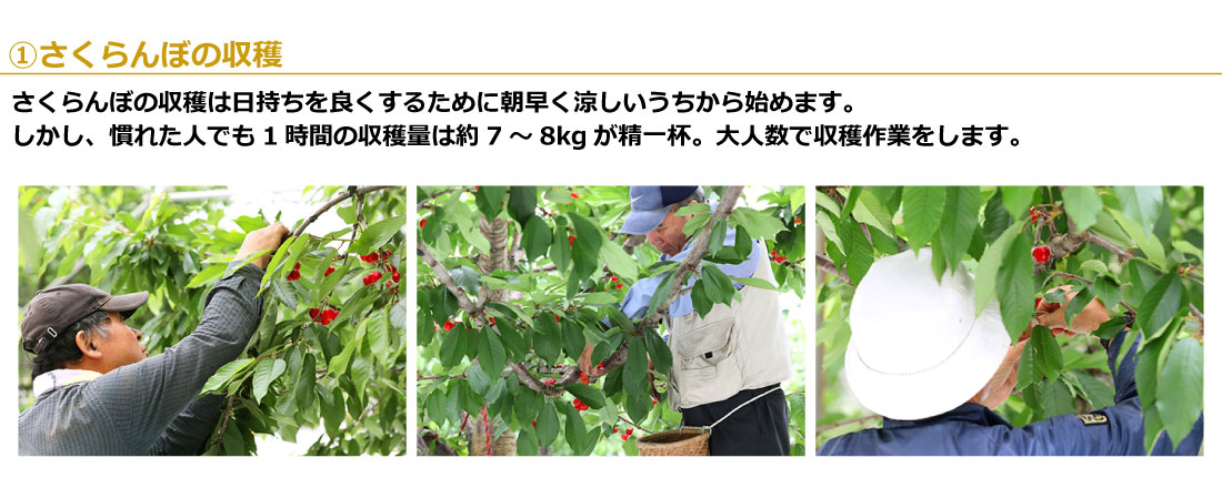 01さくらんぼの収穫