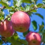 山形サンふじ 樹上完熟りんご こうとく