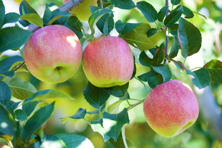 こうとく 蜜入り 山形りんご
