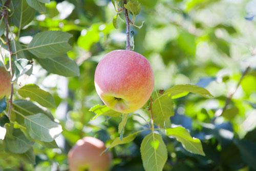 蜜入りりんご こうとく 山形りんご