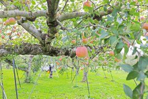 こうとく こうとくお取り寄せ 蜜入りりんご