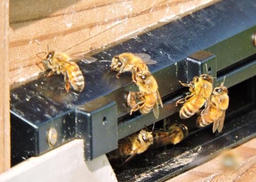 ミツバチ さくらんぼ 佐藤錦