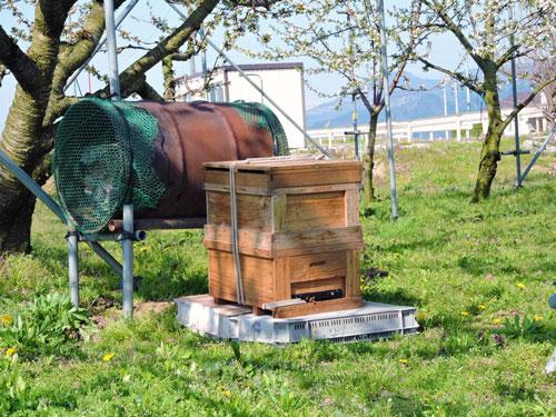 さくらんぼ 満開 ミツバチ