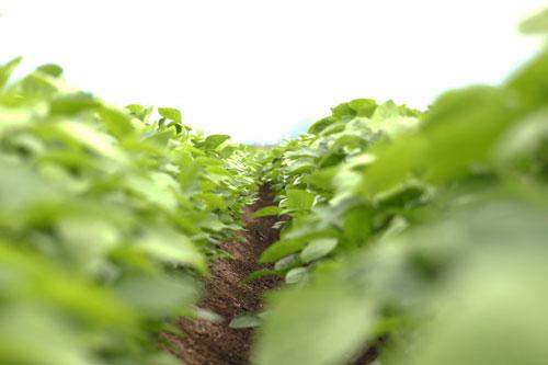 だだちゃ豆通販 白山だだちゃ豆 だだちゃ豆の品種