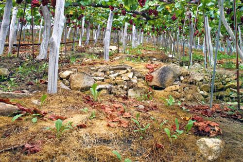 山形のブドウは所々に石積みで畑を守っていく工夫がされている。傾斜に驚く