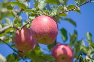 りんご こうとく 蜜入り