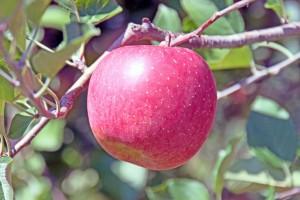りんご 朝日町産 サンふじ