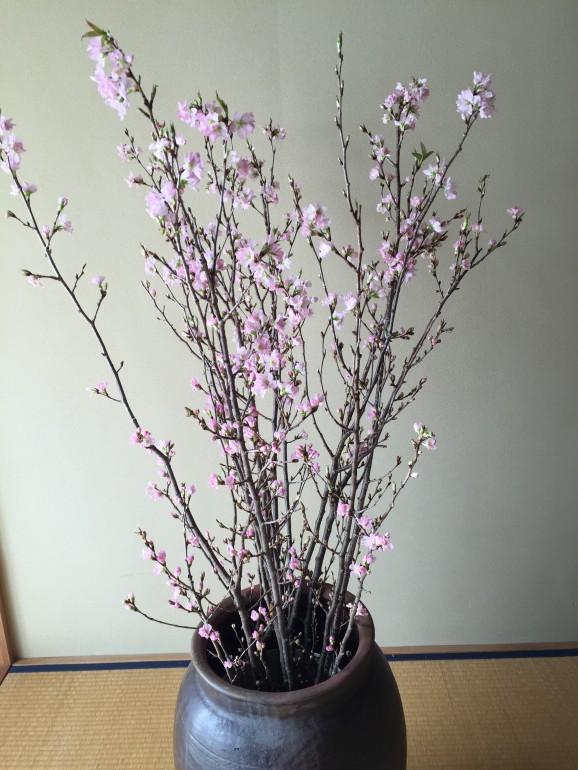 啓翁桜 桜 紅彼岸桜