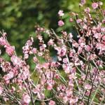 山形 梅の花 味の農園