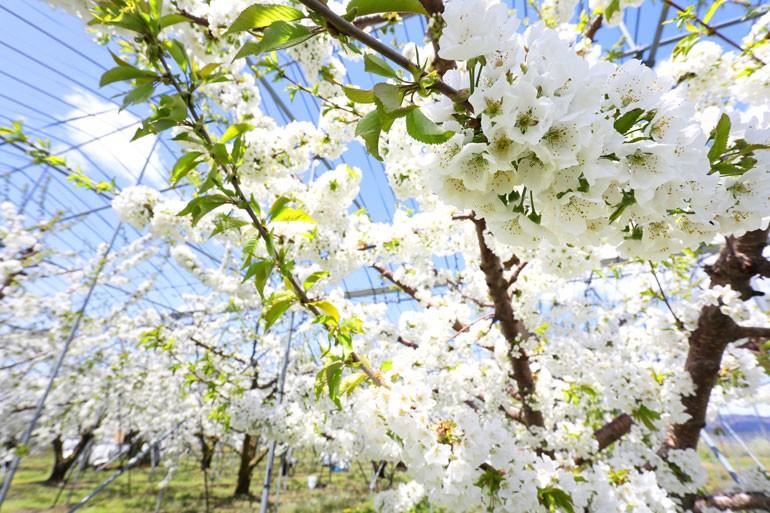 さくらんぼ通販 山形さくらんぼ さくらんぼ開花