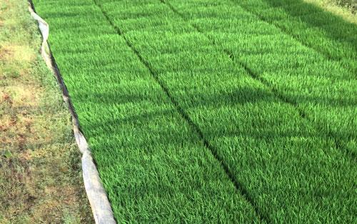 お米作り コシヒカリ ササニシキ