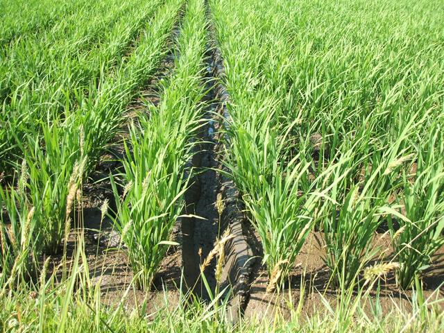 土の固さを観察しながら溝を掘るタイミングを見はからってほります