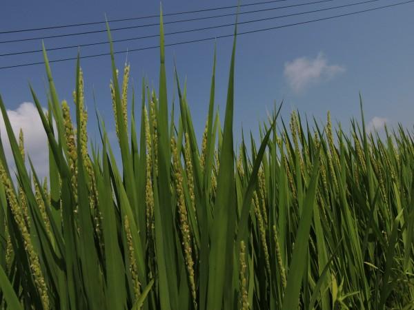 稲は高温猛暑の真夏を選んで開花、授粉をしている