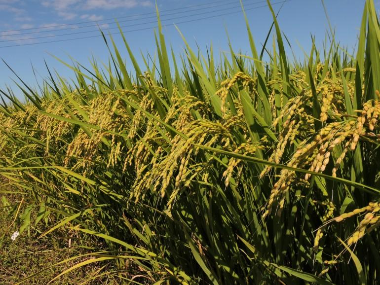 美味しいお米の作り方 稲の花が...