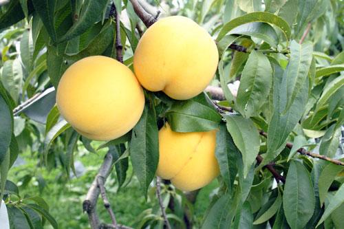 黄桃 桃の旬 山形桃