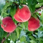 桃 桃の旬 山形桃