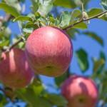 選び方 サンふじ りんご