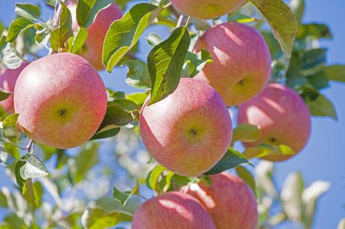 りんご通販 蜜入りりんご通販 サンふじ通販