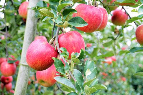 サンふじ 選び方 りんご