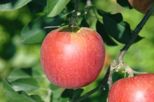 りんご サンふじ 選び方