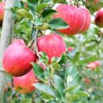 りんご 保存方法 山形りんご