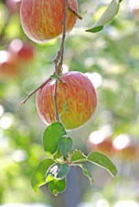 山形りんご サンふじ こうとく