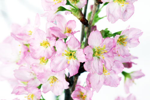 啓翁桜 冬さくら 桜