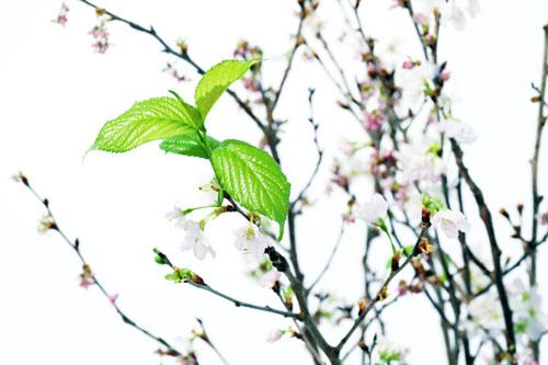 啓翁桜 さくらんぼ