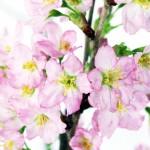 啓翁桜 サクラ 冬さくら