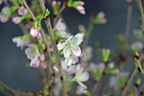 啓翁桜 さくら 冬さくら