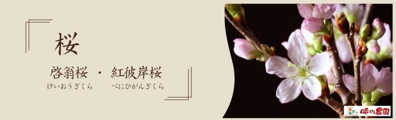 啓翁桜 さくら