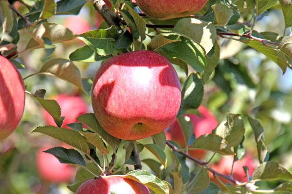 りんご こうとく さんふじ