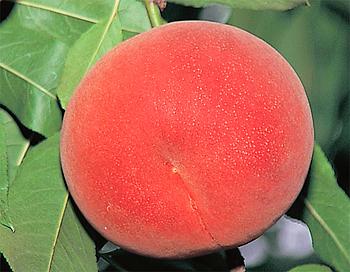 白桃 黄桃 山形の桃