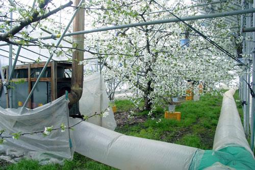 佐藤錦 温室さくらんぼ 母の日サクランボ