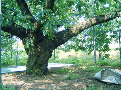 樹齢70年にもなるさくらんぼの樹