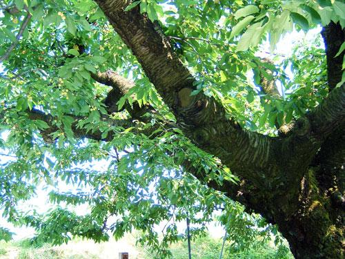 歴史が感じとれるさくらんぼの樹、ナポレオンにいろいろな品種が接木されている