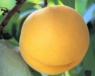 桃 黄桃 山形の桃