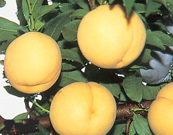 桃 山形 白桃