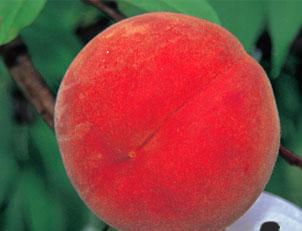 山形の桃 黄桃 白桃