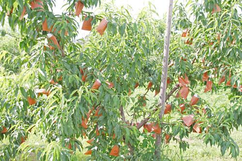桃通販 美味しい桃 もも通販