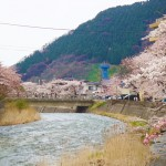 桜 さくら さくらんぼ