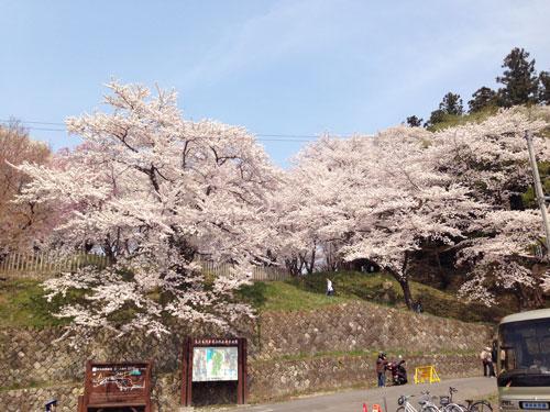 山形さくら 山形の桜 山形さくらんぼ