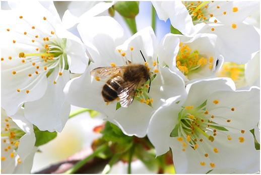 さくらんぼの花 サクランボの花