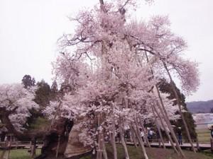 山形の桜 山形さくら 山形さくらんぼ
