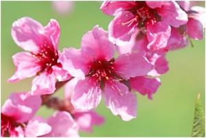 桃の花 ももの花 モモの花